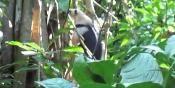 Anteater at Carara National Park - Costa Rica