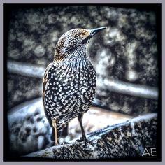 Starling on Stone by AngelEowyn