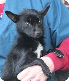 Prattville, AL - Chihuahua. Meet Emmy 21773, a dog for adoption. http://www.adoptapet.com/pet/12222715-prattville-alabama-chihuahua