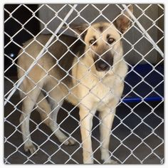 1 year old pretty female , 1-2 year old German Shepherd, very social and friendly ! Needs out March 19 ID #A479942 Please call 909-384-1304 San Bernardino City Shelter ,CA Please call 909-384-1304 San Bernardino City Shelter ,CA