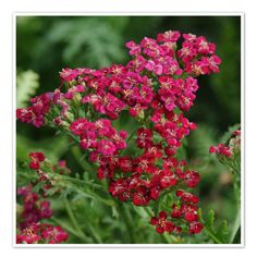 Parks Wholesale Plants - Vintage Red Achillea has bold red blooms with creamy white eyes on aromatic foliage that can range from gray-green to silver. Best Perennials, Hardy Perennials, Yarrow Plant, Landscape Nursery, Wholesale Plants, Achillea Millefolium, Summer Plants, Flower Landscape, Landscaping Tips