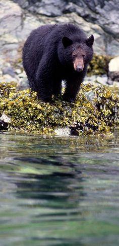 Vancouver Island black bear (Ursus americanus vancouveri) is found, as the name implies, on Vancouver Island, Canada. Vancouver Island, Canada Vancouver, Beautiful Creatures, Animals Beautiful, Cute Animals, Large Animals, Wild Animals, Black Bear, Brown Bear