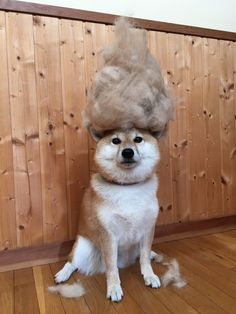 """highlandvalley: mesomesoさんのツイート: """"ビッグヌケゲーマウンテン... - when a Shiba blows it's coat (2x a year!) it will shed so much you will think it is a different dog under there! Self- defense demands that you brush the coat out at least every two days for literally weeks!"""