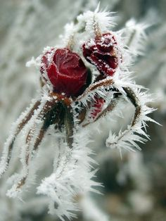 **Rose covered in hoarfrost.