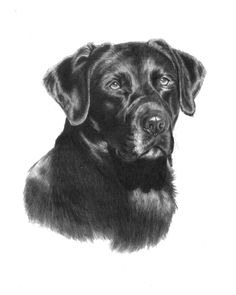 """Mike the #Black #Lab Sketch. An 11x14"""" graphite pencil portrait done working off the photo my client gave me. http://www.gensart.net"""