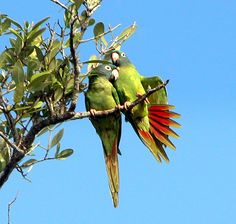 Bird Watching - Anna Maria Island 1/2 dozen parrots fly over our house ever afternoon around 4:30....