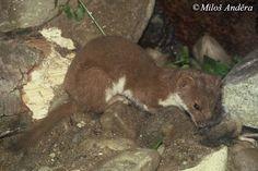 Mustela nivalis nivalis - Common Weasel