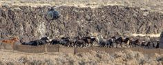 Return To Freedom – BLM begins planned four-day, 100-wild horse roundup in Nevada, Dec. 19, 2016