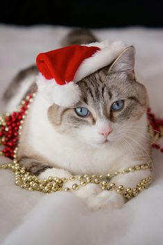 .Beautiful hat and jewelry.  For more Christmas Cats, visit https://www.facebook.com/funholidaycats