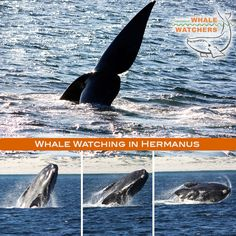 Book an unforgettable Whale Watching trip today with Hermanus Whale Watchers, a boat-based whale watching company in South Africa. Hermanus is the capital of the Cape Whale Coast, and about an hour from Cape Town in South Africa. Whale Watching, South Africa, Destinations, Coast, Activities, Animals, Animales, Animaux, Animais