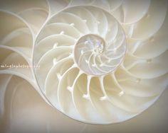 shell spiral...ivory