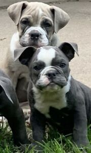 Blue Olde English Bulldogge Puppies Olde English Bulldogge Dogs