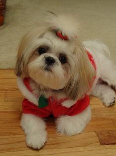 Awesome Shih Tzu Puppies Smile Shih Tzu Brown Source by The post Shih Tzu Brown appeared first on Bruce Kennels. Cute Puppies, Cute Dogs, Dogs And Puppies, Doggies, Shih Tzu Puppy, Shih Tzus, Animals And Pets, Cute Animals, Christmas Dog