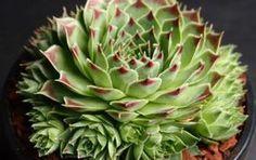 Mint köztudott, a kövirózsa gyógyereje vetekszik az aloé verával. Szinte minden kertben megtalálható ez a szerény, igénytelen növény, amelyet manapság elsősorban a sziklakertek díszítéséhez használunk. Pedig a kövirózsa sokkal inkább gyógynövény, mint kerti dísz. Lássuk, mire használhatjuk, a teljesség igénye nélkül: