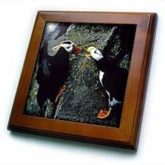 """Alaska, Pribilof Islands. Puffin birds, cliffside - US02 BJA0099 - Jaynes Gallery - 8x8 Framed Tile by 3dRose. $22.99. Cherry Finish. Dimensions: 8"""" H x 8"""" W x 1/2"""" D. Keyhole in the back of frame allows for easy hanging.. Inset high gloss 6"""" x 6"""" ceramic tile.. Solid wood frame. Alaska, Pribilof Islands. Puffin birds, cliffside - US02 BJA0099 - Jaynes Gallery Framed Tile is 8"""" x 8"""" with a 6"""" x 6"""" high gloss inset ceramic tile, surrounded by a solid wood frame with..."""