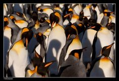 The Shadow - foto gemaakt in South Georgia, Antartica - I have a weakness for pinguïns