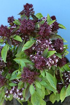 Basil 'Thai Siam Queen'This Basil has the anise undertones necessary to evoke authentic flavor in dishes, & growing your own is really the best way to have it on hand in the fresh state, when all of the essential oils are most potent!