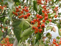 The berries of Hawthorn are edible and delicious. The seeds are likely about as poisonous as apple seeds.   I usually take a mouthful of berries and spit out the seeds.   The berries are produced in the fall and hang on into mid winter.