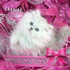 Persian Kittens for Sale Call 772-460-1795 www.TeacupPersianKittens.com www.PreciousKittens.com #cat #cats #persiancats #persiankittens #persiankittensforsale #teacuppersiankittens #teacuppersiankittensforsale #dollfacepersian #dollfacepersians