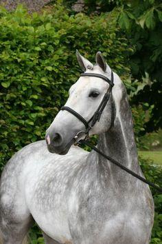 Zangersheide stallion Calvino Z