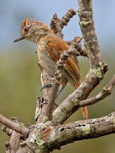 Rufous-winged Antshrike (Thamnophilus torquatus) - female