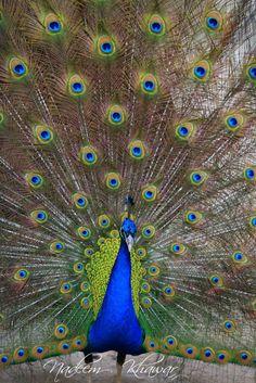 Lahore - Pakistan : Indian Peacock