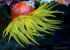 yellow cup coral by alex tattersall