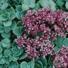 "Pink Mongolian Stonecrop, Sedum ewersii, sun-part shade, blooms late summer-early fall, drought tolerant, 6"" tall, soil depth low 4"""