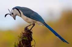 White throated magpie jay by oggywaffler