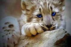 Blue eyed cub - (#155468) - High Quality and Resolution Wallpapers on hqWallbase.com