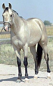 Silver Sunshine - Silver Buckskin Quarter Horse Stallion -  Age:4 - Height: 16.5 - Dam: Unknown - Sire: Unknown - Skills: Reining, Roping, Trail Points