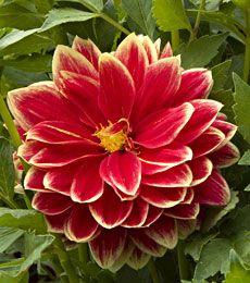 dahlia... I want to grow these flowers