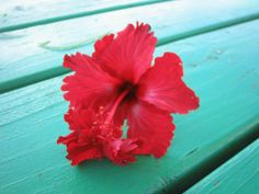 Hibiscus ... Hawaii state flower