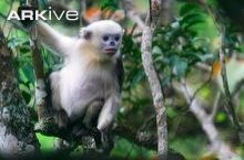 One of the most endangered primates in the world, the Tonkin Snub-Nosed Monkey of Northern Vietnam is one of the most stunning and unique monkeys, and this week's featured primate!  Picture Juvenile Tonkin Snub-Nosed monkey, Photo courtesy of ARKive.org, Dong Thanh Hai  http://www.neprimateconservancy.org/kaitlyn-elizabeth-foley---2010/tonkin-snub-nosed-monkey