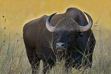 Gaur (Bos gaurus) en Kanha National Park, India