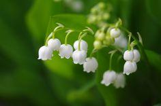 ヨーロッパでは、5月1日のスズランの日に愛する人へスズランのお花を贈る風習があります。花言葉は「幸福が帰る」「幸福の再来」「意識しない美しさ」「純粋」。 lily of the valley/谷間の百合とも呼ばれ、聖母マリアの花として『聖母の涙』とも言われる素敵なお花ですが、実は有毒物質を持っているので注意が必要なお花です。