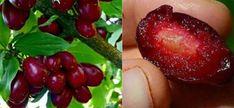 Sunt fructe salbatice, mici, alungite, de culoare rosie, cu gust dulce-acrisor, acidulat. Cresc toamna, in tufe, pe la marginea padurilor, in zonele deluroase. Ele se coc in perioada august – octombrie si sunt un adevarat depozit de vitamine. Consumul lor regulat ne intareste organismul si ne protejeaza de neplacerile ''venite la pachet'' odata cu anotimpul rece. Coarnele – ce contin Cornele contin mai multa vitamina C decat lamaia, vitamina P, calciu, fier, magneziu, acizi organici… Salvia, Plum, Health And Wellness, Cherry, Strawberry, Eat, Food, Funguje To, Drink