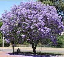 Gorgeous nitrogen fixing -paulownia tree - Paulownia tomentosa