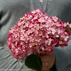 Invincibelle® Ruby - Smooth hydrangea - Hydrangea arborescens-mature size 24-36, Reliable burgundy-pink flowers. Very hardy. Bloom color is not affected by soil pH. Like other smooth hydrangeas, it flowers on new growth and so blooms every year without fail.