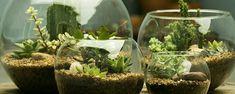 Terrários versão miniatura - Terrários são lindos, alegres, fáceis de fazer e depois de prontos decoram com simplicidade. Qualquer pote de vidro, seja pequeno ou grande, pode servir de proteção para seu novo terrário. Esse tipo de minijardim é bastante ornamental porque, além da beleza das plantas crescendo sob o vidro, rev... - http://www.ingressosrapido.com.br/ecoblog/2016/05/20/terrarios-versao-miniatura/