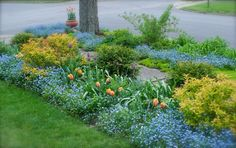 Tulip 'Princess Irene' and Tulip 'Cum Laude' with Spirea 'Goldflame' and forget-me-nots (Myosotis). A street corner filled with color! The Front Walk and then the Front Woodland below planted up with a sea of forget-me-nots (Myosotis). An urn of Tulip 'Ballerina' sit by the tree just feet from the pavement.