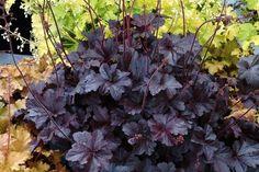 Obsidian Coral Bells - Heuchera - Shade Perennial - Gallon Pot