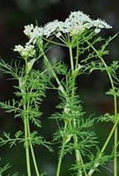A kömény termesztése Herb Garden, Herbs, Plants, Homemade, Herbs Garden, Herb, Plant, Planets, Medicinal Plants