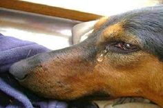Doggy tears: One pup's tears of sadness kept him alive at high kill shelter Amor Animal, Mundo Animal, Animal Pics, Cocker Spaniel, Animals And Pets, Cute Animals, Tears Of Sadness, Les Fables, Stop Animal Cruelty