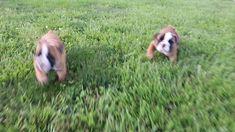 #EnglishBulldog #PuppyPlaytime #PuppyVideo #Thursday #LancasterPuppies www.LancasterPuppies.com Black English Bulldog, Mini English Bulldogs, English Bulldog Breeders, Bulldog Puppies For Sale, Lancaster Puppies, Blue Merle, Thursday, Facts, Random