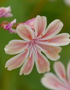 Lewisia cotyledon 'hybrids'
