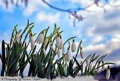 Frühling, Schneeglöckchen blühen schon im Februar. Frühling. Spring, snowdrops in the snow, Pictures and Greeting cards https://www.l-seifert.de/bilder-fruehling/Fruehling.html
