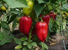 Выращивание перцев: основные проблемы и методы их устранения