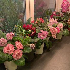 #Gloxinia #Gesneriad #GesneriadSociety #AVSA #IndoorPlant #Houseplant #AfricanVioletSocietyOfAmerica #flowers #bloom #flowerstagram #FlowersOfInstagram