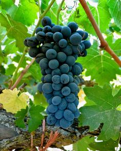 Cabernet Franc in Keith Watts' vineyard